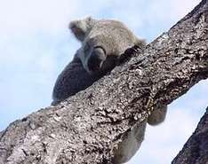 Australische Tierwelt - Koala