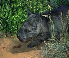 Nördlicher Haarnasenwombat