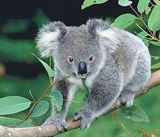 Koala - Sydney-Wildlife-World
