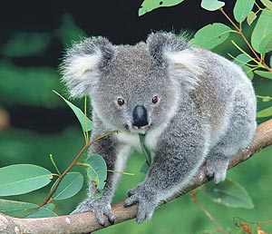 Koalas in der Sydney Wildlife World